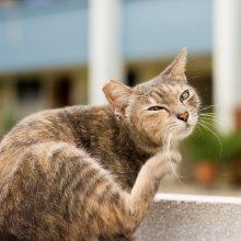 Пищевая аллергия у кошек