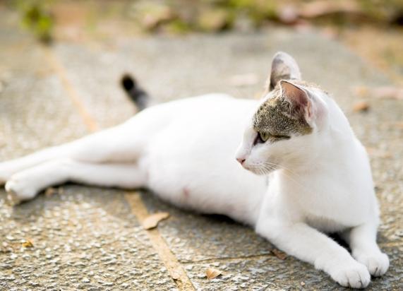Сколько длится кошачья беременность