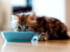 Чем кормить котенка в месяц?
