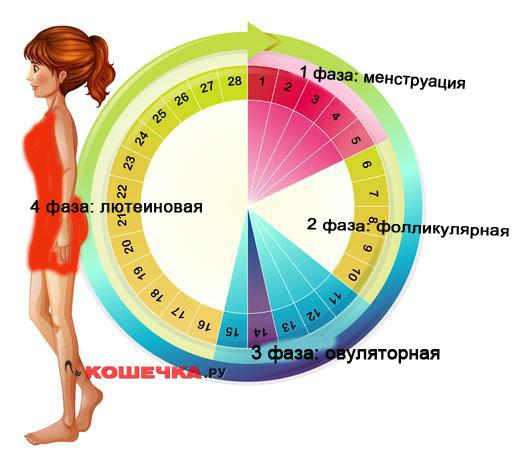 Фазы менструального цикла имеют неравную длину