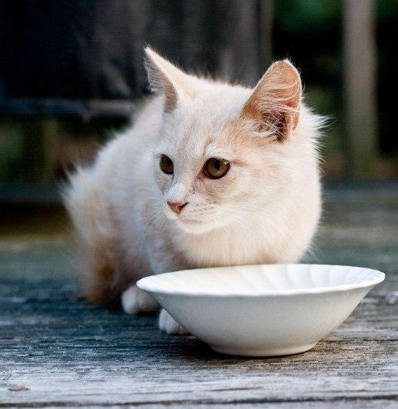 белая молодая кошечка над миской