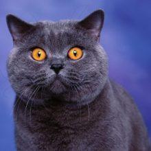 Как назвать британскую кошку?