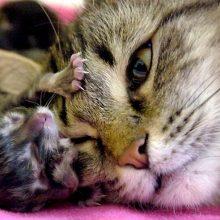 Как принимать роды у кошки?