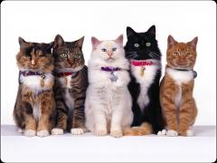 Как узнать породу кошки?