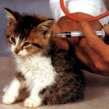 Какие прививки нужны котенку, делать ли их?