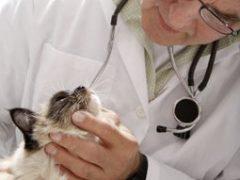 Почему кашляет кошка: причины и как лечить