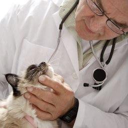 Почему кашляет кошка: причины и как ...