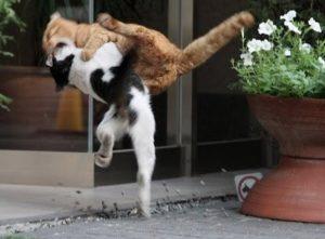 кошки сцепились в драке