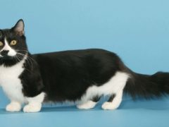 Кошка-такса: порода манчкин