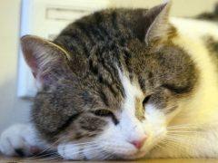 Коньюктивит у кошек: что делать, если у кошки гноятся глаза?