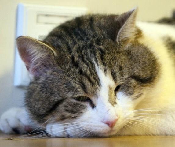 Слезятся глаза у кошки: сведения о лечении и профилактике