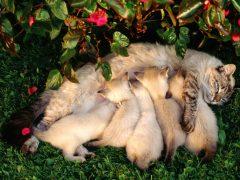 Кормящая кошка: уход, кормление