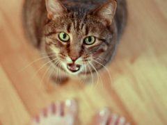 Кошка мяукает без причины: что делать?