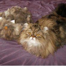 Кошка или кот сильно линяет: отчего, что делать?