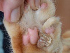 Почему у кошки вырос кожный рог? Что с ним делать?
