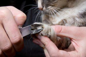 кошке состригают коготь