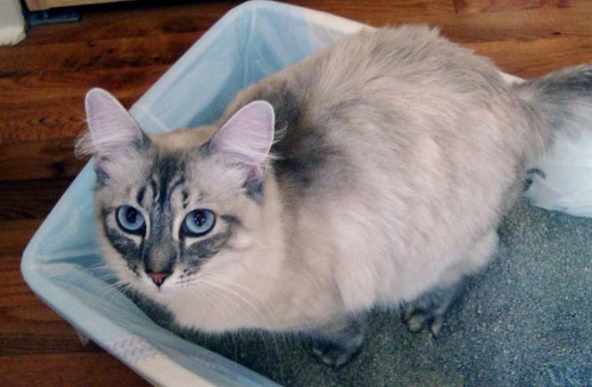 Как приучить кошку взрослую к туалету