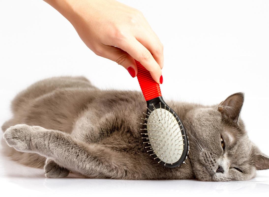 Чем расчесывать британскую кошку какую расческу выбрать