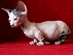 Сфинкс бамбино: необычная порода кошек!