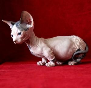 Порода кошек бамбино, порода кошек бамбино фото