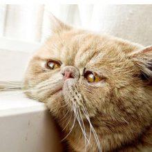У кошки закисают глаза: что делать?