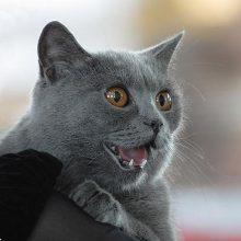 У кошки первая течка: что делать?