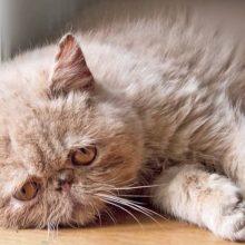 Из-за чего у кошек бывают выделения розового цвета?