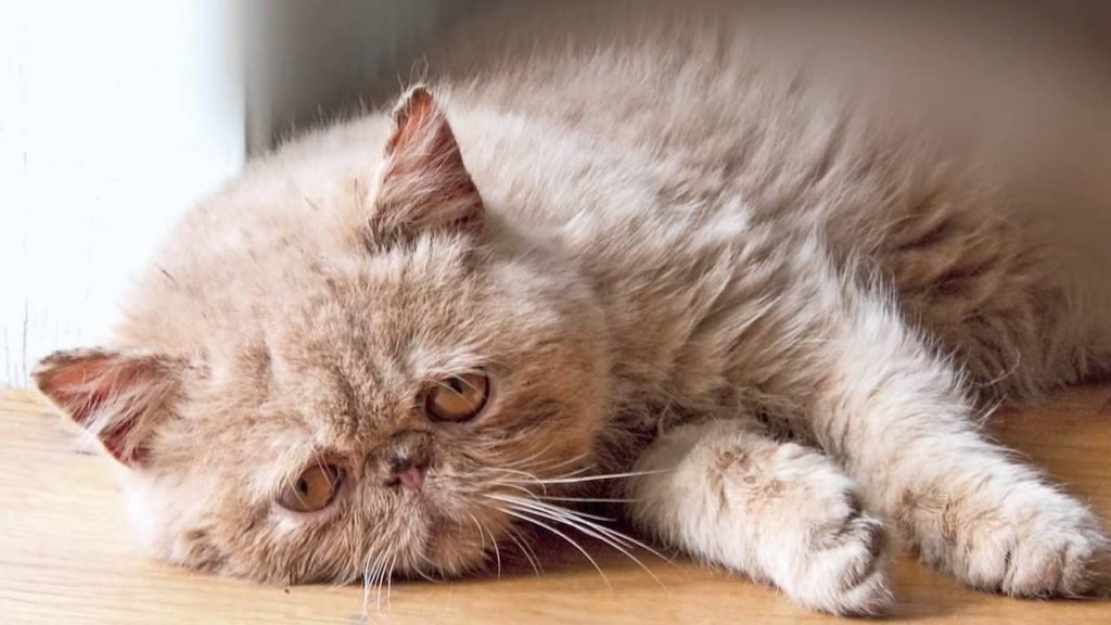 кошка лежит грустная