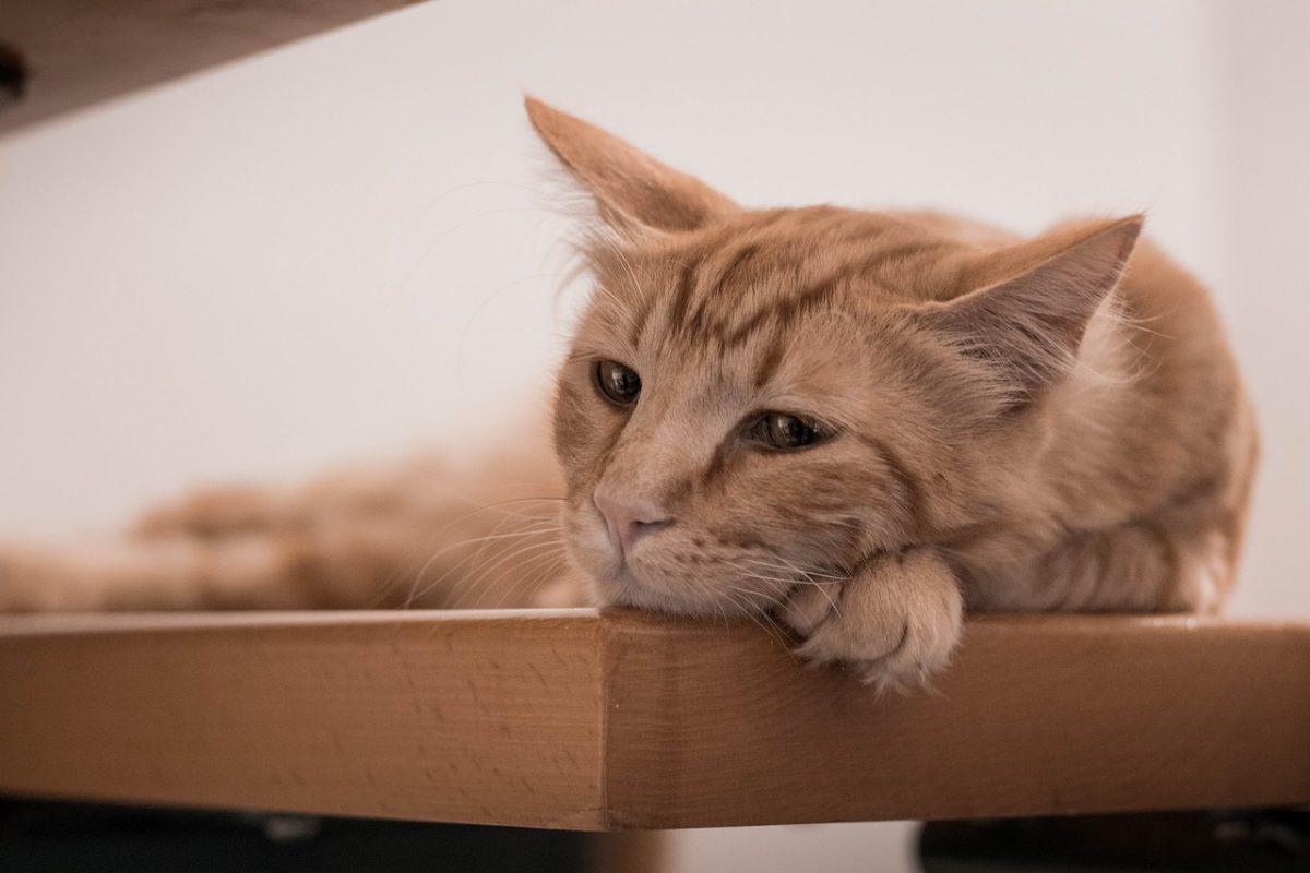 грустная лежащая кошка