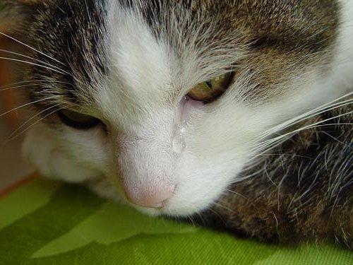 слезятся глаза у кошки