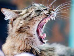 У кошки воняет изо рта: почему и что делать?