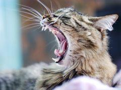 Удаляем зубной камень у кошек дома и у ветеринара