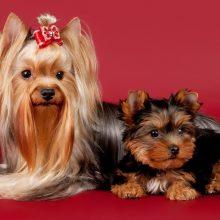 Порода собак йорк. Виды йорков