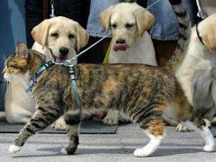 Нужно ли выгуливать кошку и как именно