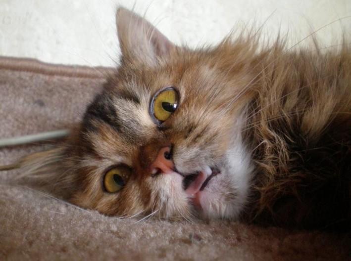 морда пушистого кота