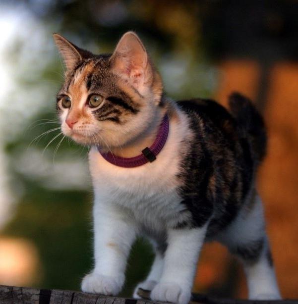 котенок в противоблошином ошейнике